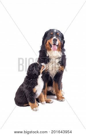dog with puppy isolated on white background