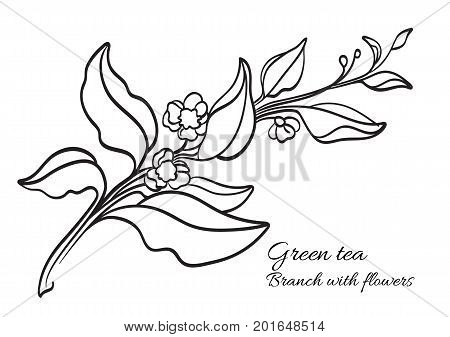 Branch of tea bush with leaves and flowers. Botanical contour drawing. Realistic. Nature. Organic product. Vector illustration isolated on white background eps.10