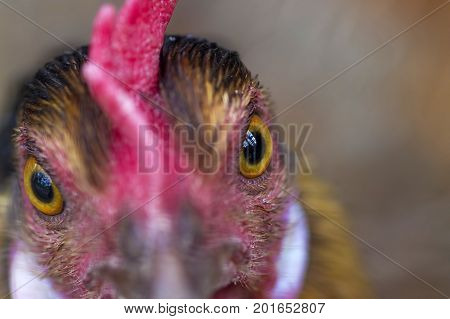 Chicken eye close-up, or a domestic chicken Gallus gallus, sometimes - Gallus domesticus , is the most numerous and widespread poultry