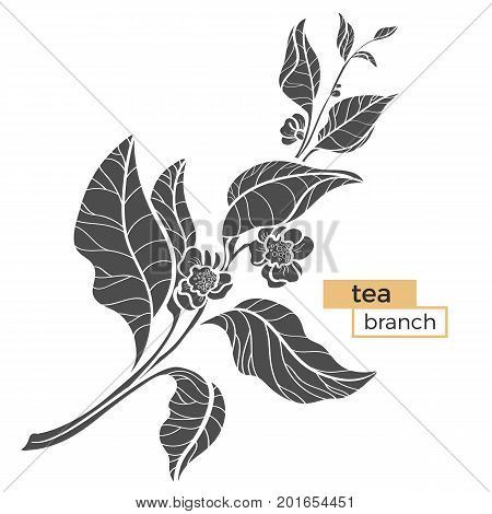 Branch of tea bush with leaves and flowers. Botanical illustration. Realistic. Nature. Organic product. Vector black silhouette isolated on white background eps.10