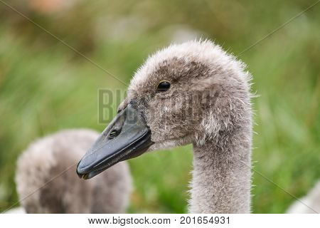 A Mute Swan cygnet at 4 months old