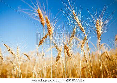 Image of fresh wheat in field, blue clear sky, blurred background