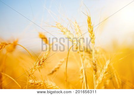Image of ripe wheat spike in field, clear blue sky, blurred background