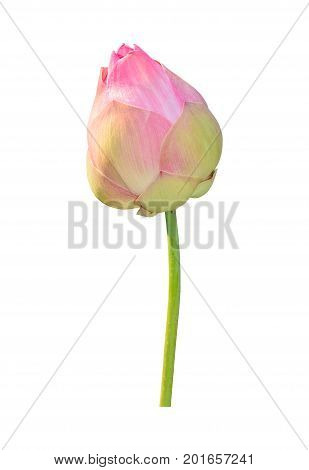 Lotus flower plant isolated on white Clipping path