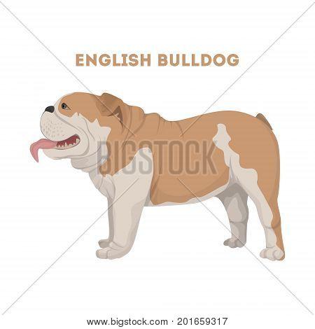 Isolated English bulldog on white background. Domestic animal.