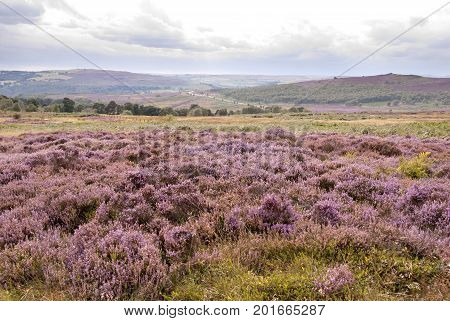 Derbyshire UK - Aug 2015: The landscape is filled with pink heather in flower on 24 Aug on Hathersage Moor Peak District