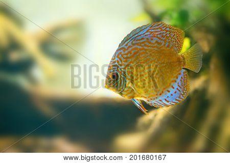 Vividly colored discus or Symphysodon between aquarium plants