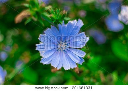 Blue chicory mesh close-up. Medicinal and useful plants.