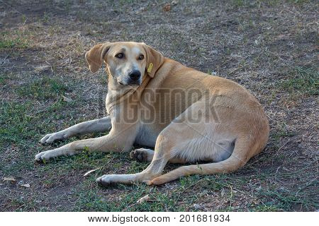 Homeless dog with a tag in his ear lies on the lawn. Pets