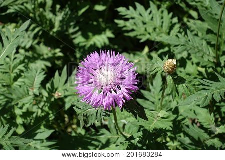 Close Up Of Single Flower Of Centaurea Dealbata