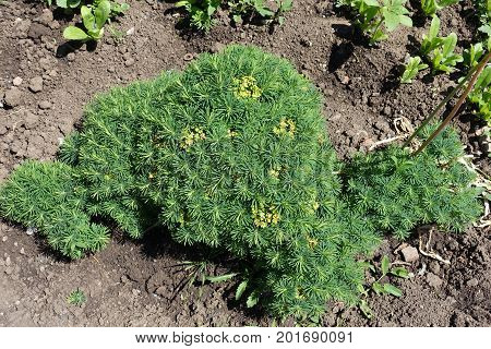 Euphorbia Cyparissias With Small Linear Leaves And Yellow Petal-like Bracts