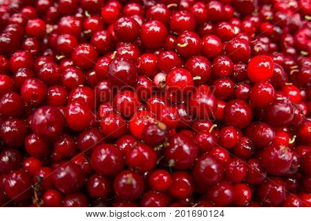Cranberry Or Cowberry Background, Top View