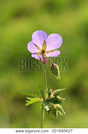 one purple chicory blossom back lit green background
