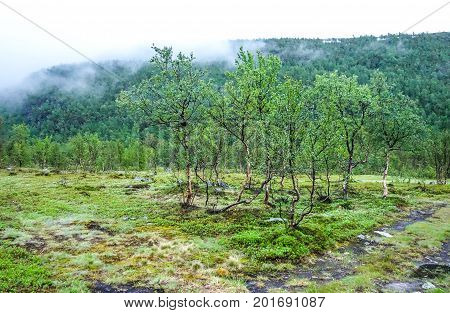 Birch trees and fog over mountain in Northern Norway