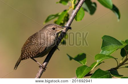 A House Wren Perched on a Branch with Dinner