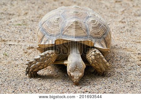 Old adult Spurred Tortoise in the sand