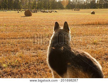 Shepherd looking at herd of sheep on the field