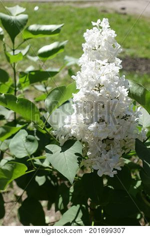 Single Panicle Of White Lilac From The Side