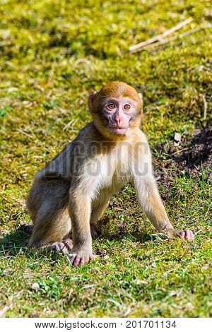 The Little Berber monkey sitting alone on the meadow