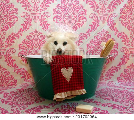Dog Bath. A happy Pomeranian dog ready to take a bath in the tub. He is wearing a shower cap and has a scrub brush and bar of soap ready to use. Dog Bath Time.