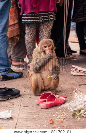 Monkey Living In The Swayambu Nath Temple, Kathmandu, Nepal
