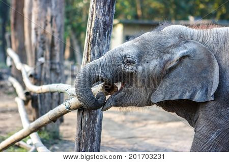 Baby Elephant At The Chitwan National Park, Nepal