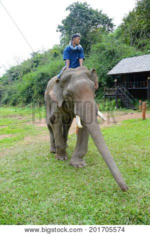 CHIANG RAI THAILAND - JANUARY 7 2017: A Mahout and atop his elephant. At the Anantara Golden Triangle Elephant Camp a charity designed to help elephants and their handlers.