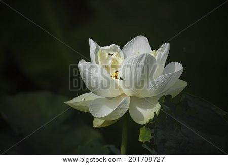 White lotus blossoming in the pond, this is the flower