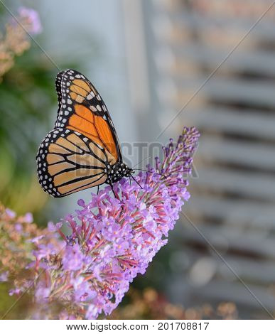 A Monarch (Danaus plexippus) butterfly shown in right profile while feeding on a cluster of blossoms on a butterfly bush in Carroll County, Maryland, USA.