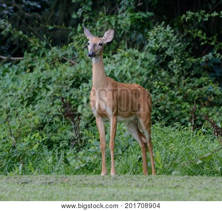 A Whitetail Deer (Odocoileus virginianus) doe, standing facing the camera and very alert, in Carroll County, Maryland, USA.