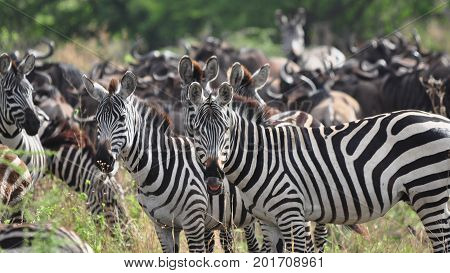 A herd of Burchell zebras with wildebeest in the background