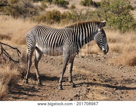 A Grevy zebra crossing the road slowly