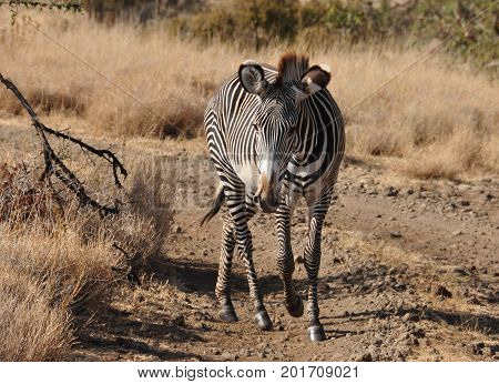 A grevy zebra looking right into the camera