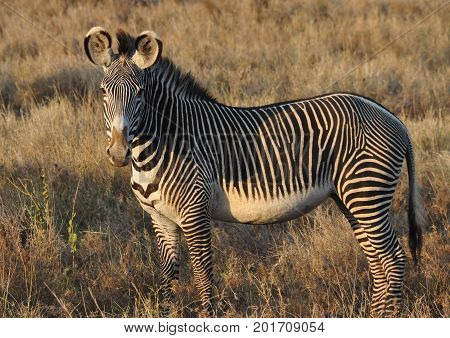 A Grevy zebra attentive in the late afternoon sun