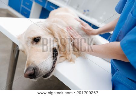 Doing massage. Docile Labrador lying on the table in clinic and looking forward while being at health checkup