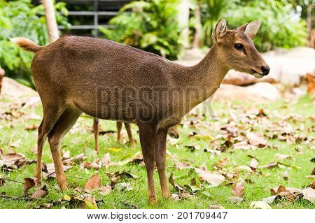 the hog deer in the thailand zoo