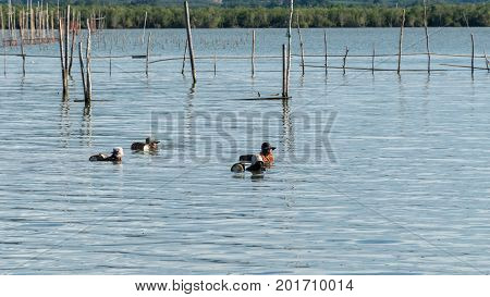 Yo Island Songkhla Thailand - September 4 2016 : The fishermens are finding fish and shrimp in Songkhla Lake.
