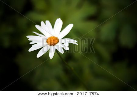 Green grass and chamomiles in the nature. One daisy on a background of nature.