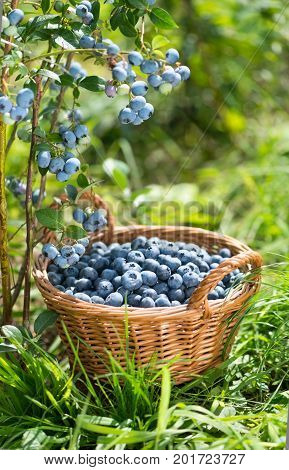 Ripe Bilberries in wicker basket. Green grass and blueberry bush. Vertical composition. Gardening and harvestig concept.