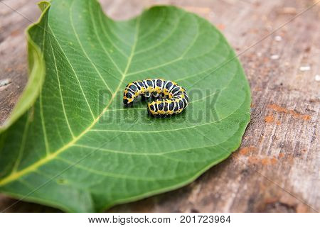 Beautiful caterpillar creeps on big green leaf. Caterpillar of the Old World Swallowtail (Papilio machaon) a butterfly of the family Papilionidae. The butterfly is also known as the common yellow swallowtail or simply the swallowtail.