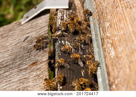Plenty Of Bees At The Entrance Of Beehive In Apiary.