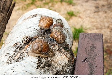Group Of Big Burgundy Snails (helix, Roman Snail, Edible Snail, Escargot) Crawling On The Trunk Of O