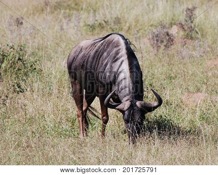 A big solitary blue wildebeest grazing in a dry landscape