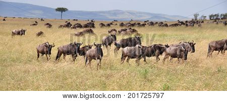 Blue wildebeest during great migration on the savannah