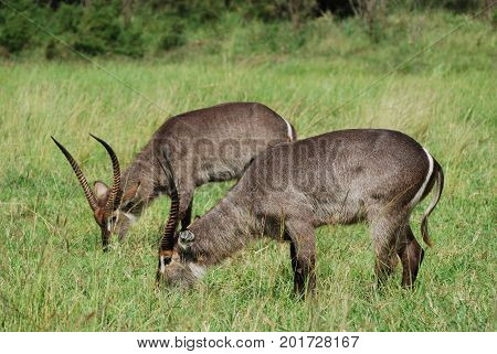 Two waterbuck males grazing together, no animosity