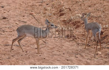 a duiker pair, small ungulates but pretty