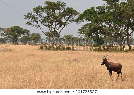 A red hartebeest walking carefully on the plains