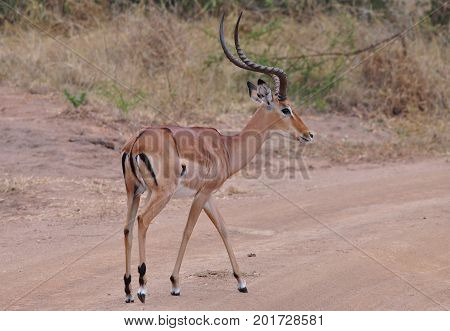 A big male impala crossing the road