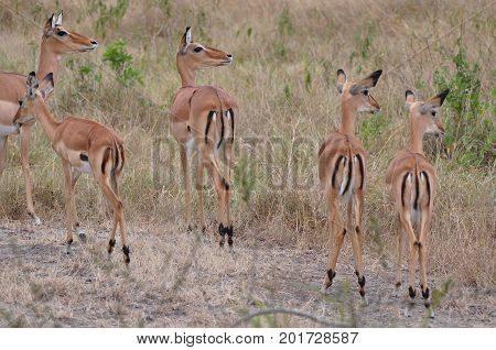 A herd of impalas, showing their bottoms