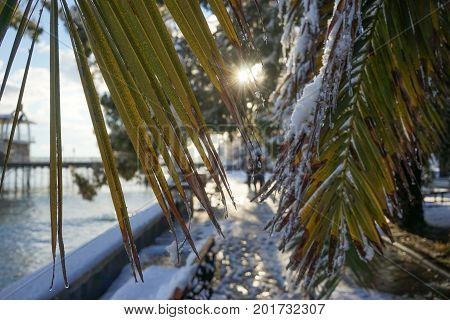 the leaves of the fan palm Washingtonia with water drops on a background of melted snow in the subtropics